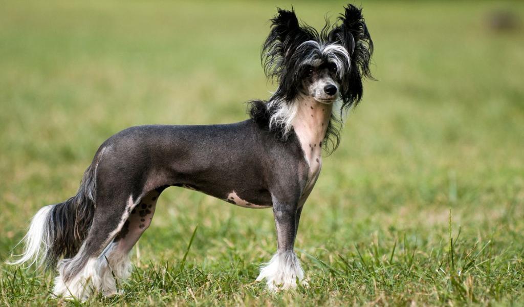 Собаки цієї породи ласкаві та віддані / Фото Lapkins