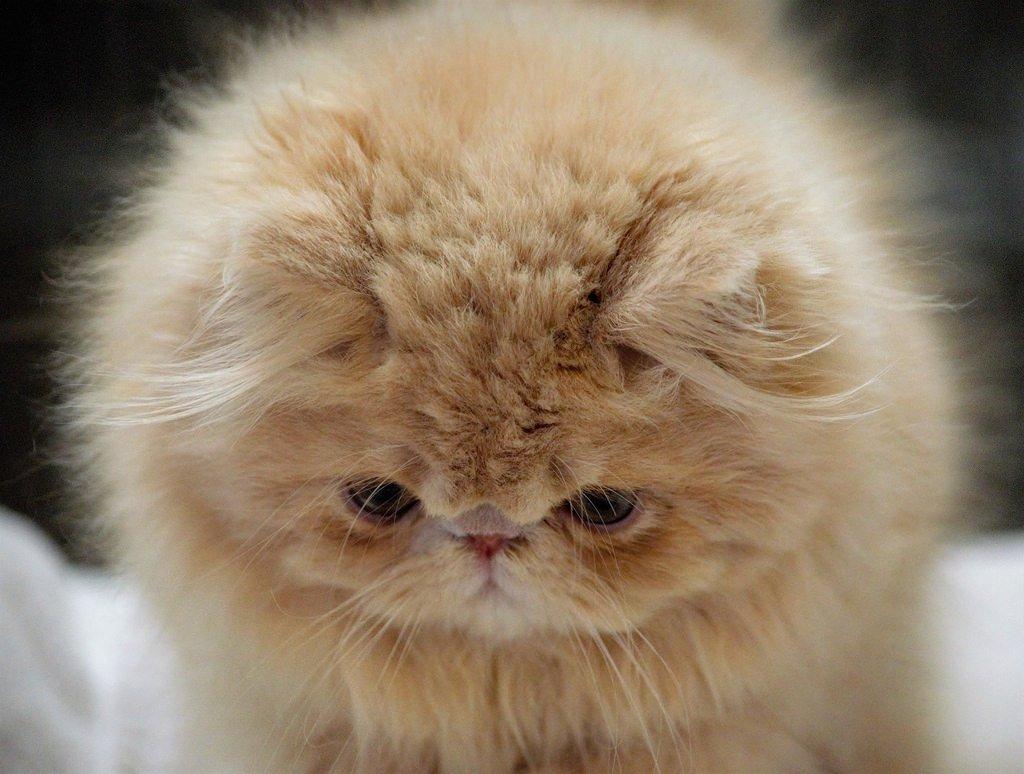 картинки маленький персидский котенок того, чтобы