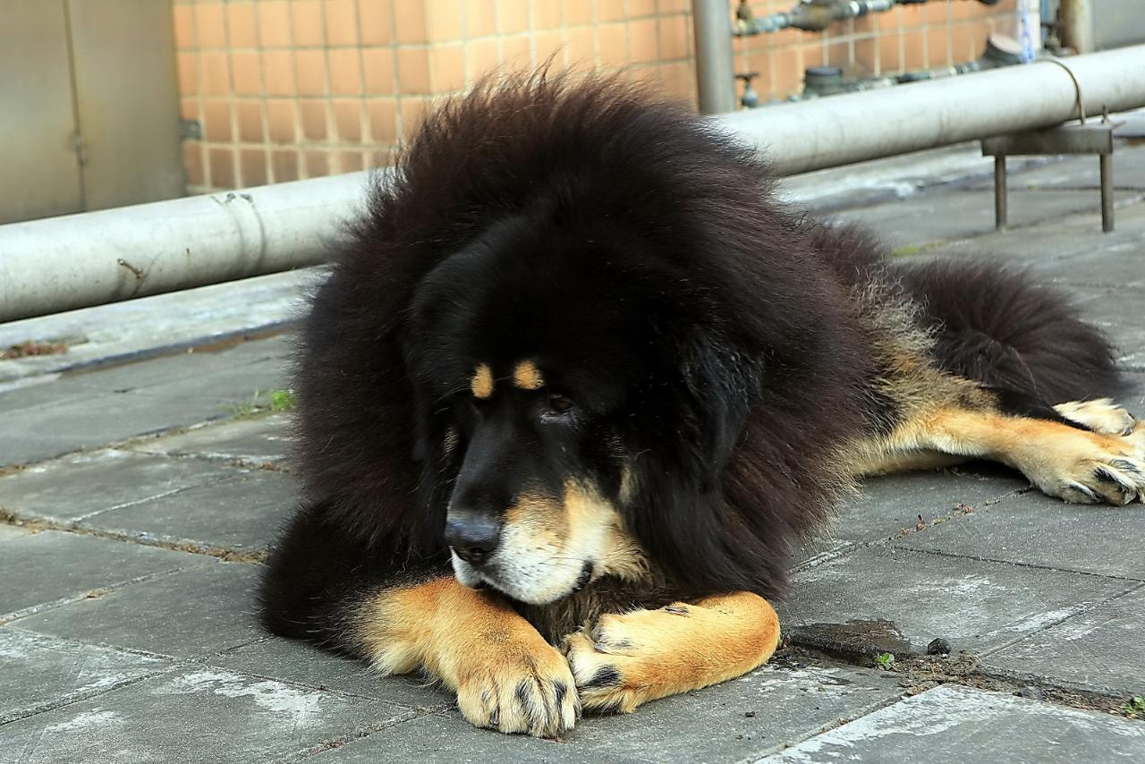 Картинки собака породы тибетский мастиф