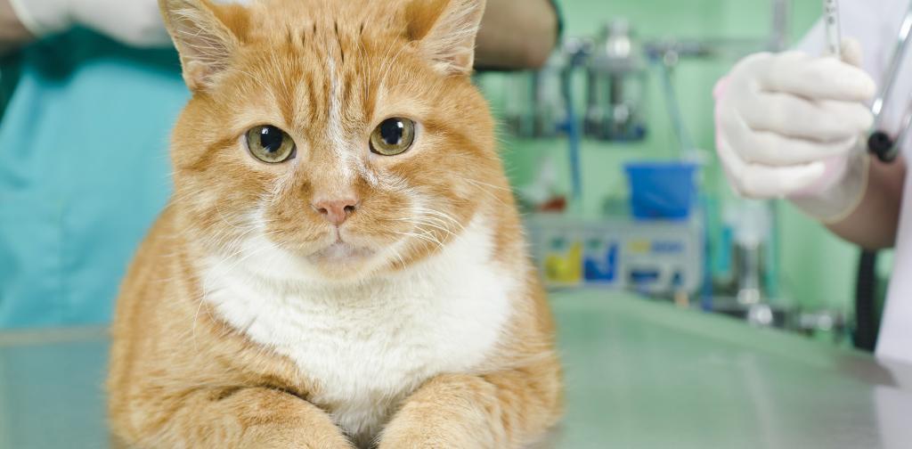 Можно ли кастрировать взрослого кота возможные последствия