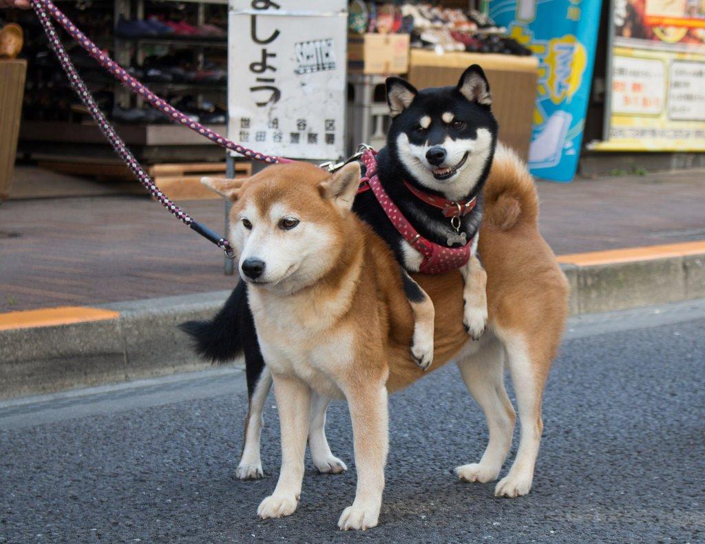 сиба ину фото взрослой собаки с человеком