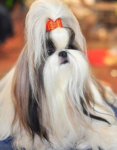 Ши-тцу с длинными волосами