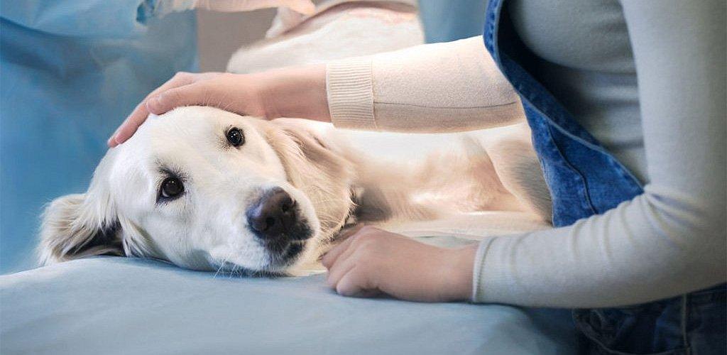когда лучше делать кастрацию стерилизацию собаке