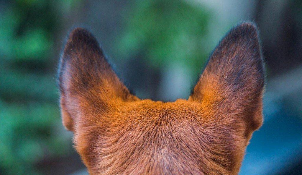 Пусть уши Вашей собаки будут здоровыми!