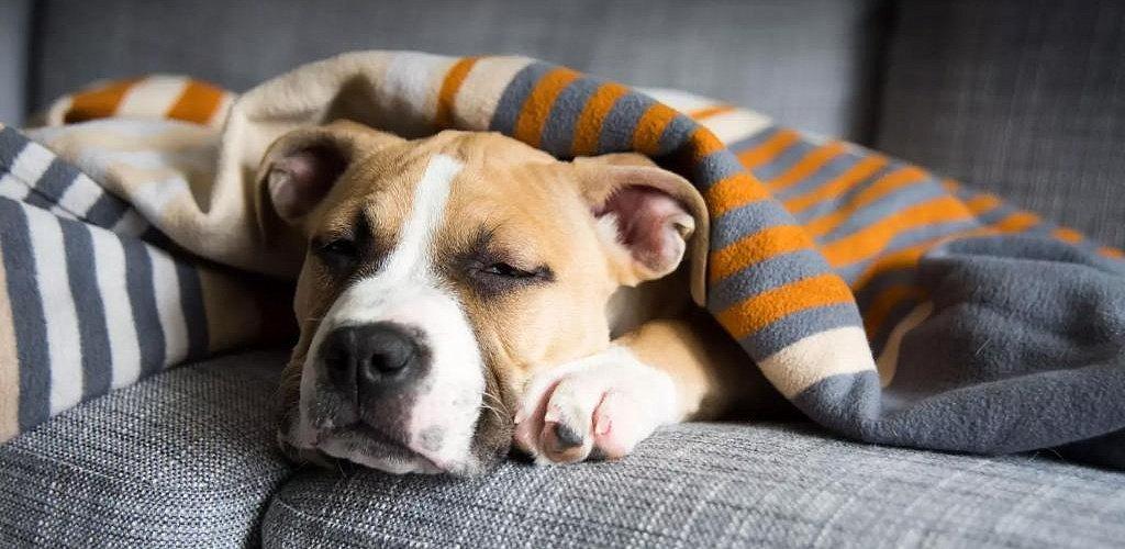 стафилококк у собак заразен для человека