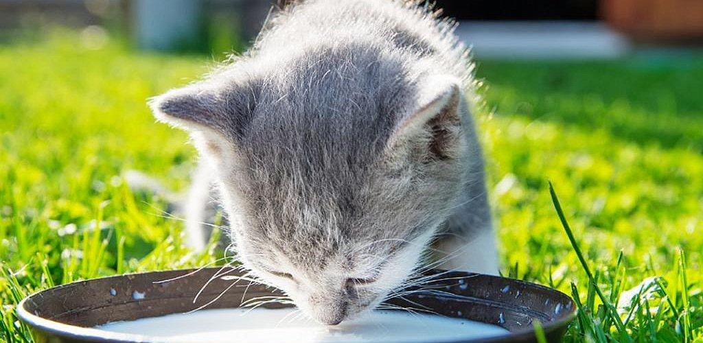 каким молоком кормить котят