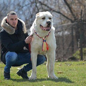 Дрессировка собак породы Алабай (Среднеазиатская овчарка) Akita Dog School