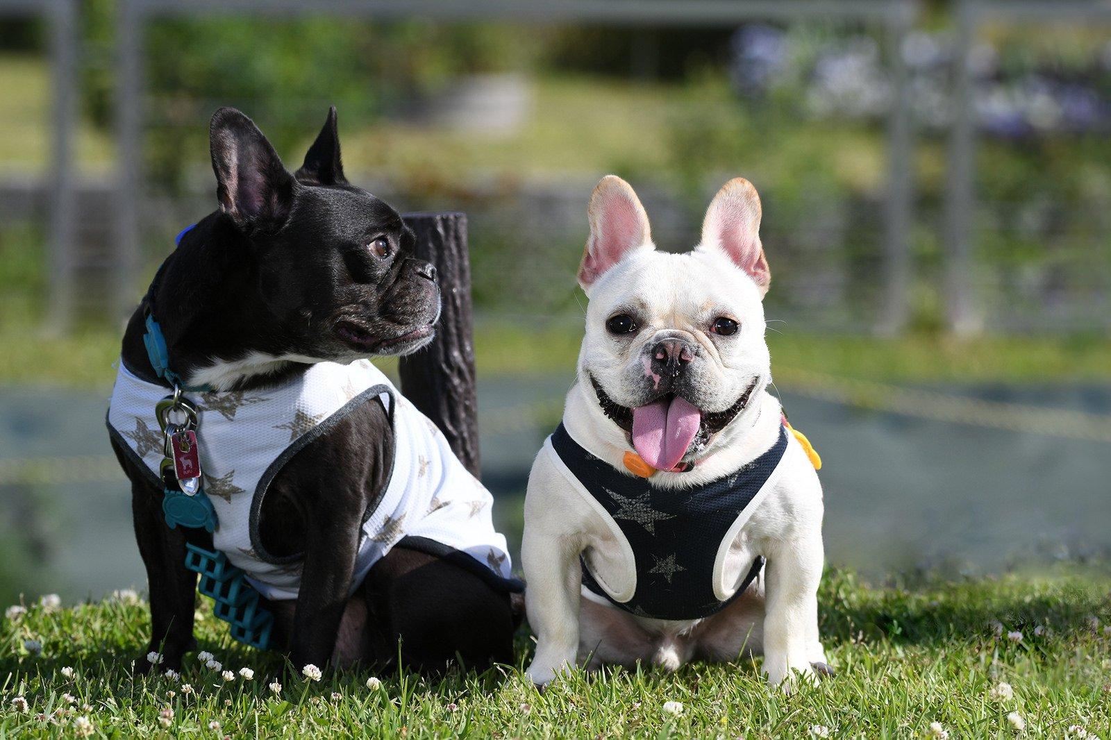 французская собака фото вам нравятся