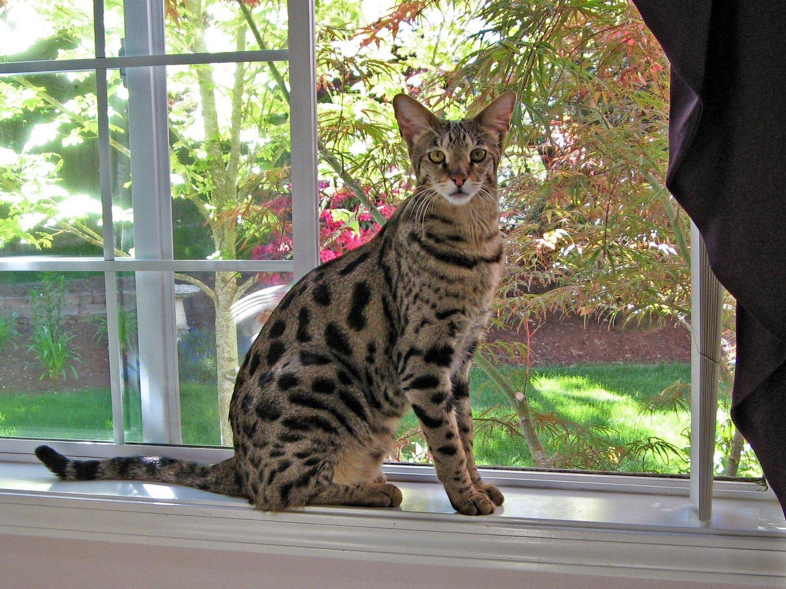 порода кошки ашера фото указаны приблизительные цены