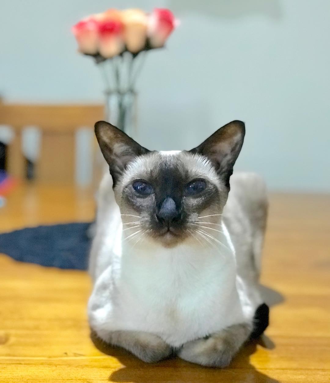 картинки сиамские что за кошки приходят