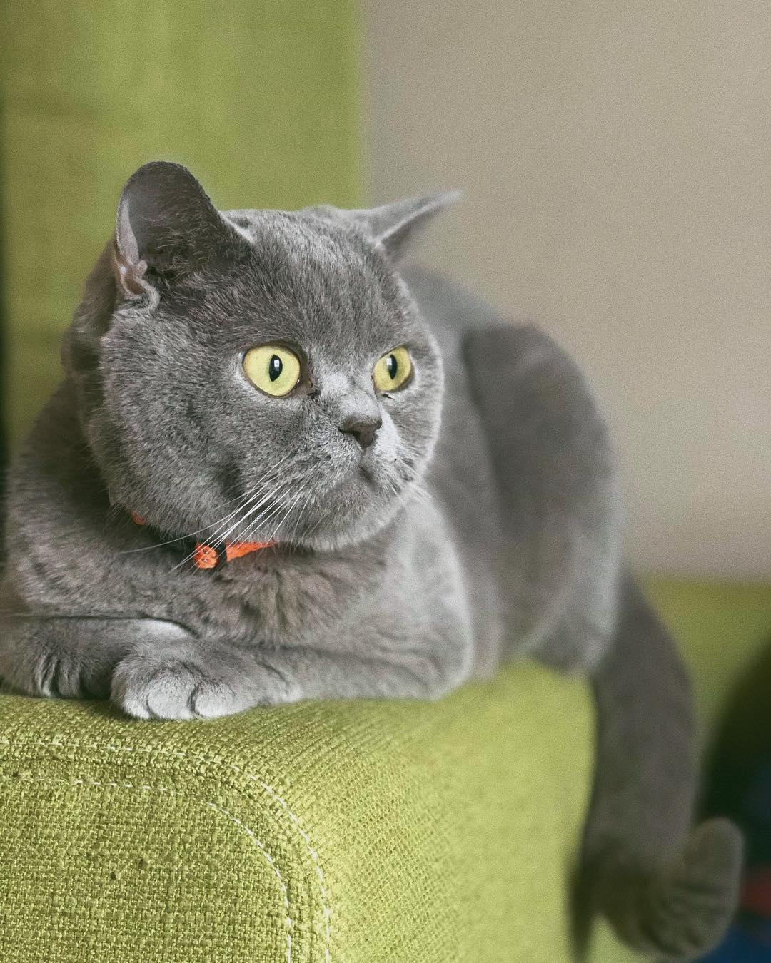 полностью доставка картинки британских кошек и котят короткошерстных так