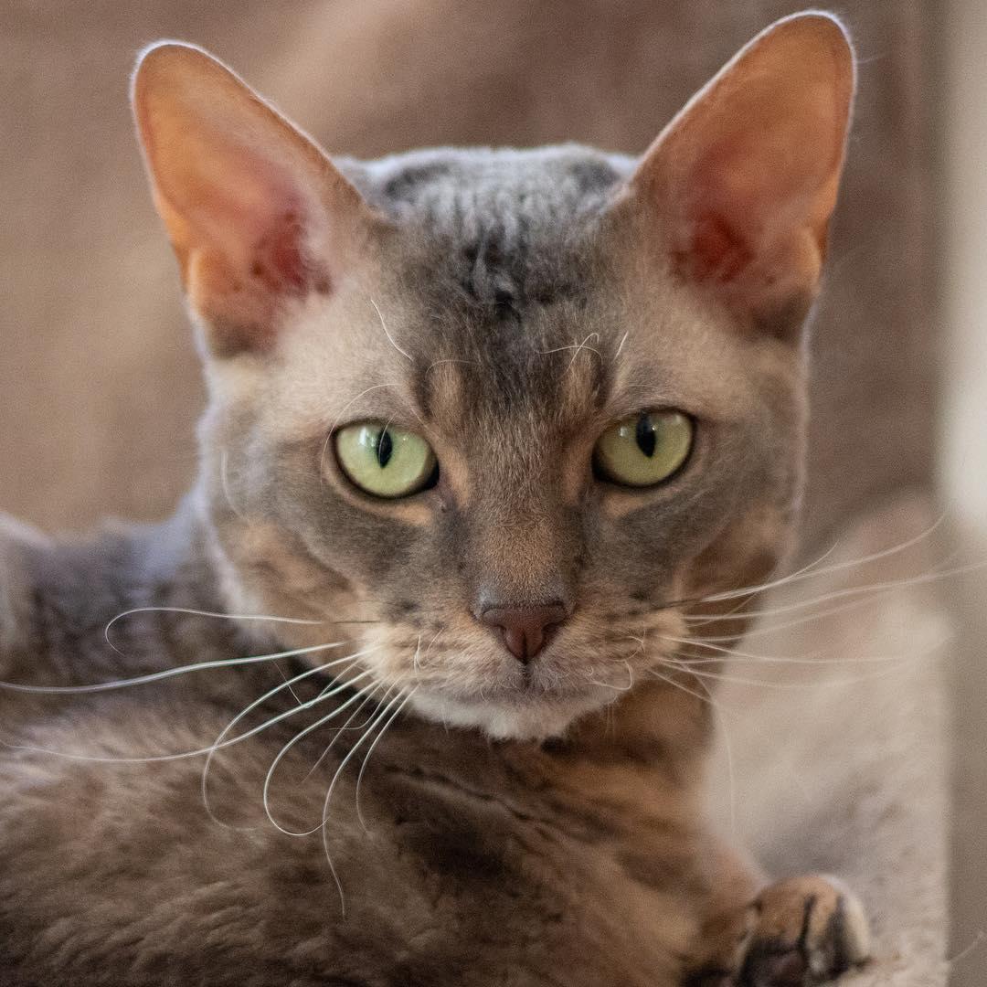 предоставляется картинки немецких кошек помощью данной процедуры