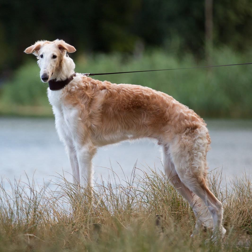Картинки русская борзая собака