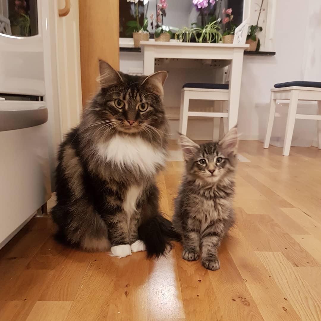 Картинки про кошек норвежская