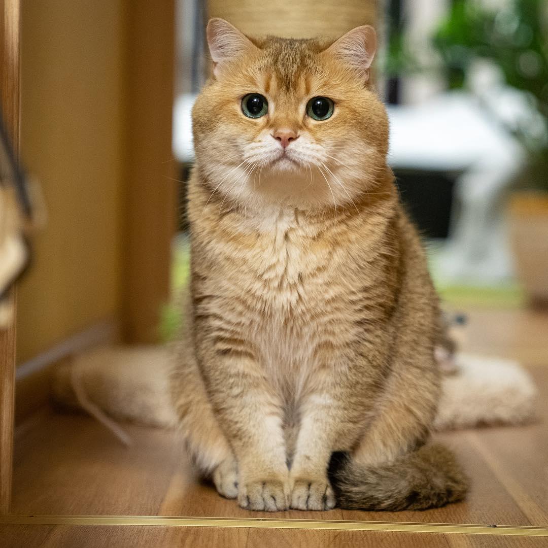 кошка шотландец прямоухий
