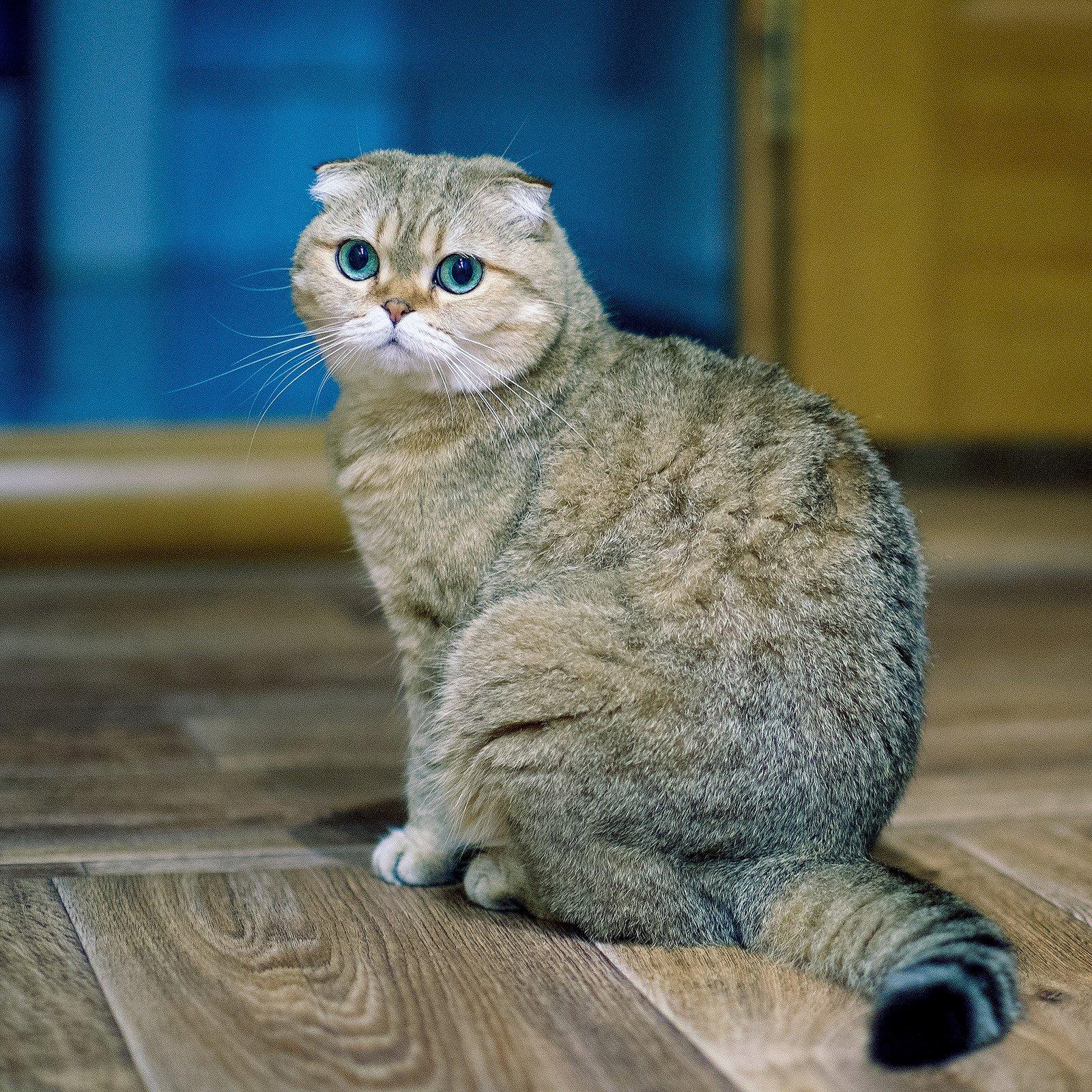 порода кошек шотландцы картинки гостям предложен хороший