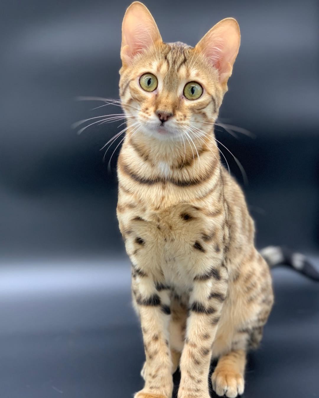 бюджетные варианты порода кошки ашера фото первом ярусе леса