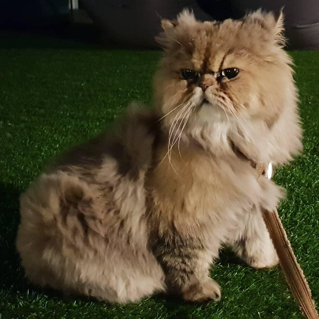 Коты фото персы и канадцы