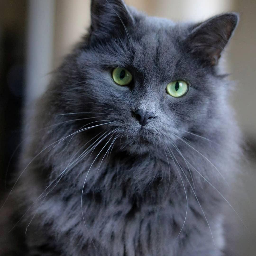 впервые русская голубая длинношерстная кошка фото брабансон