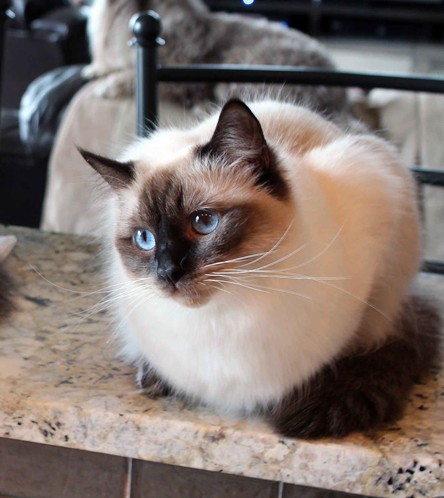 коты сибирская бирма всё же, это