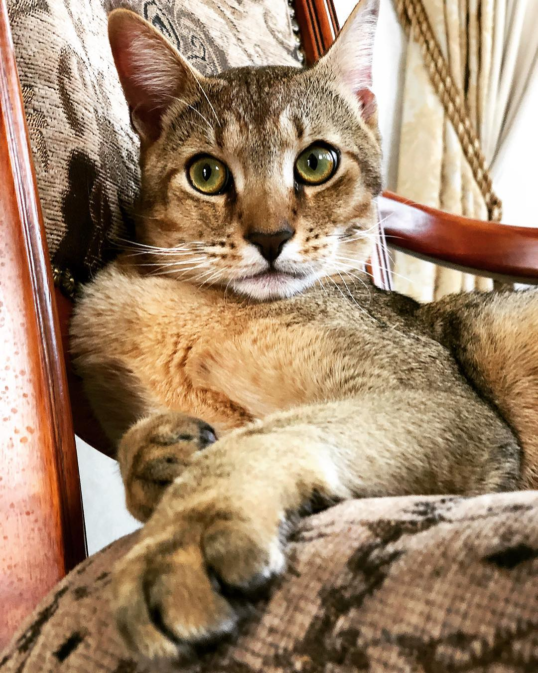 котенок чаузи фото мові