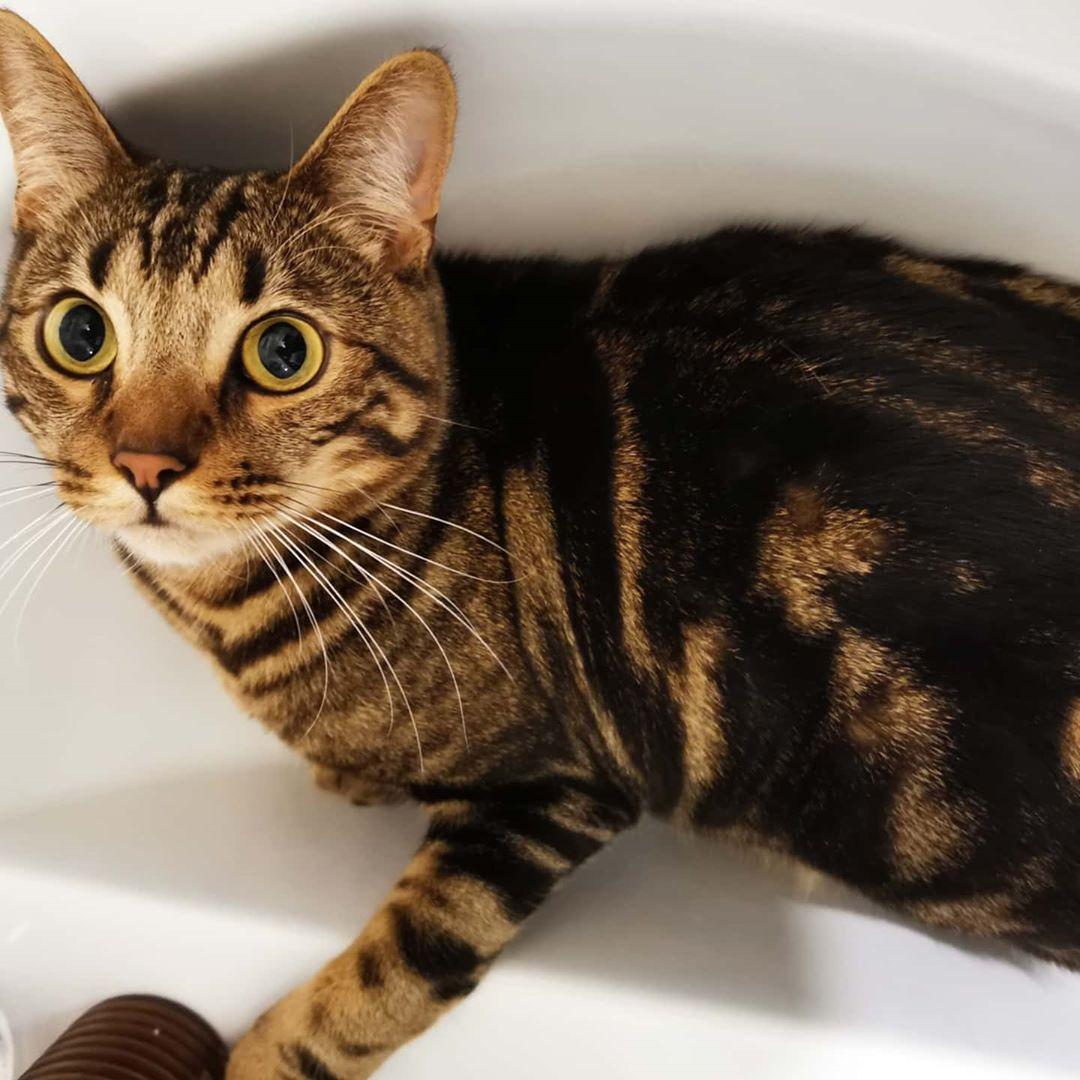 кузнечика окрасы бенгальской кошки в картинках банда