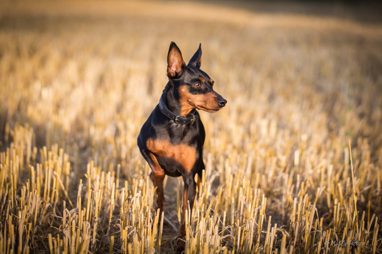 Картинка собачка пинчер