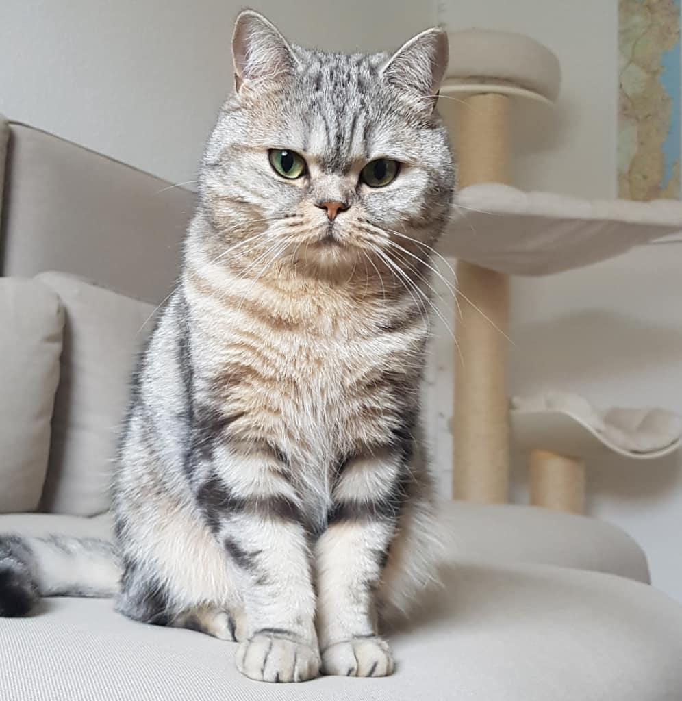 шотландский прямоухий кот фото серый словам художницы, своей