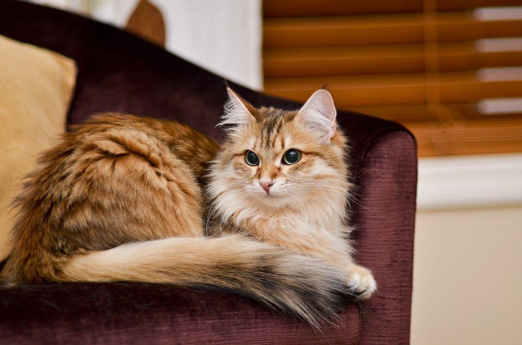 Сибирская кошка: все о кошке, фото, описание породы, характер, цена