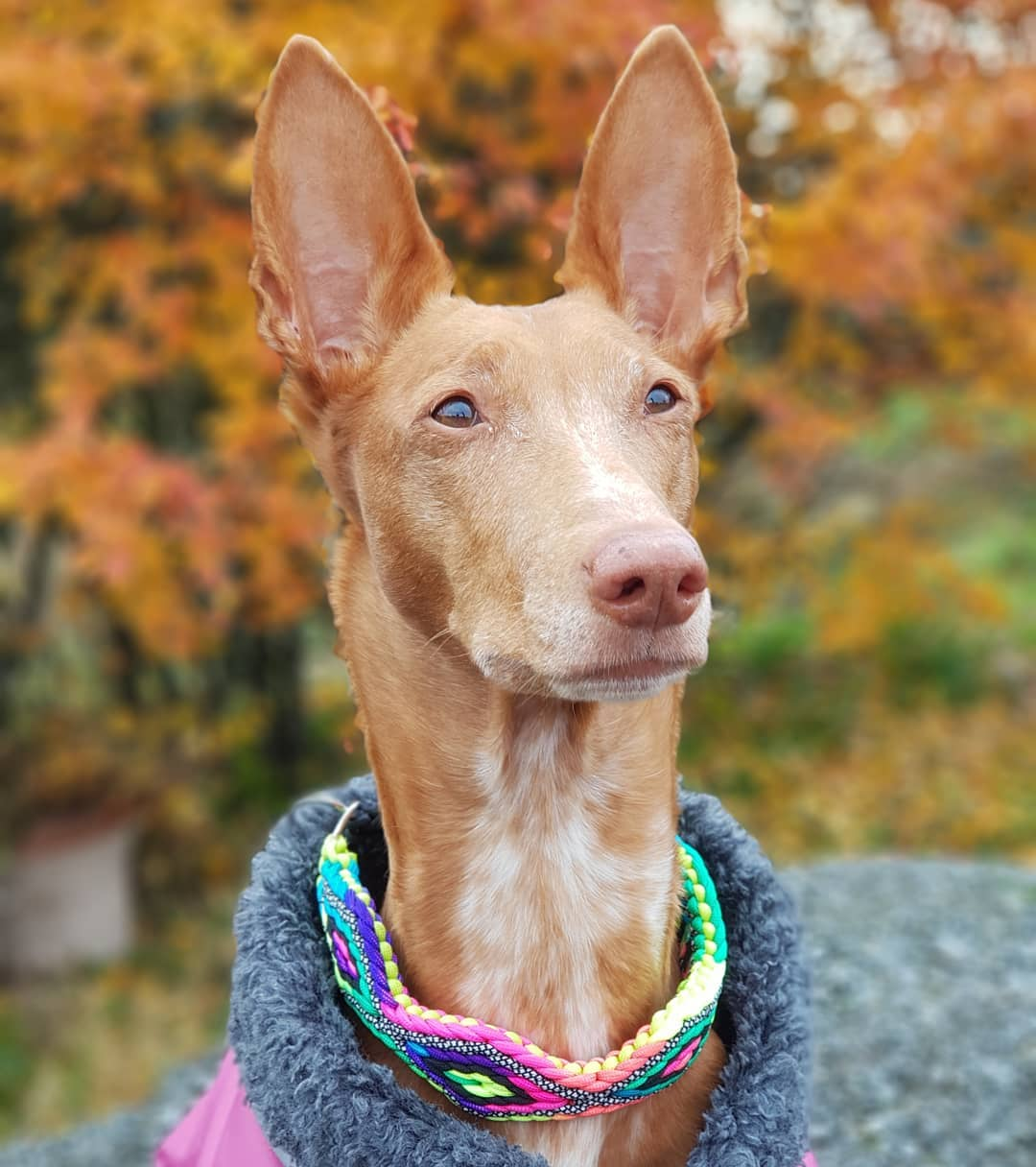 Фараоновые собаки фото