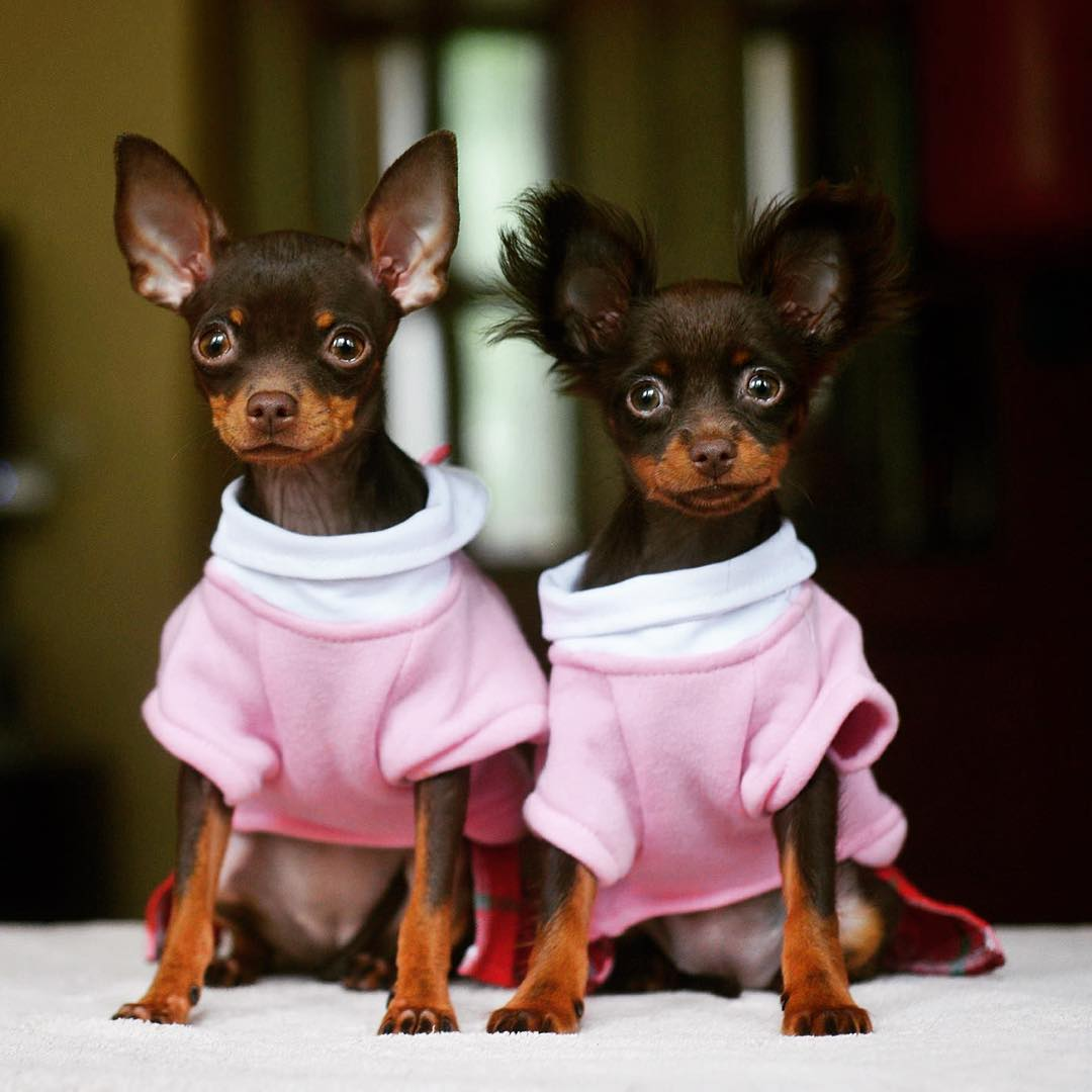 Картинки тойчиков собак