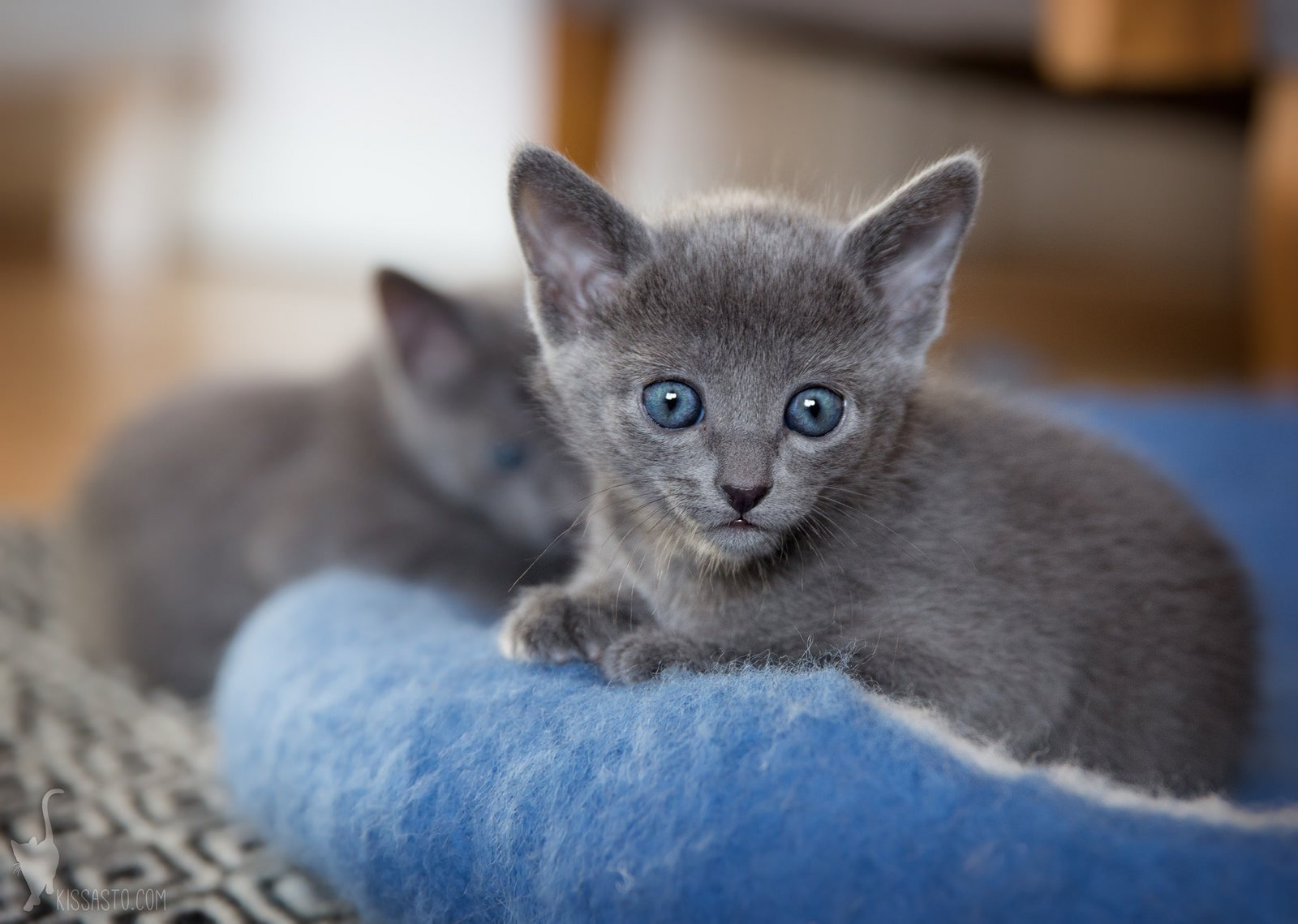 Information links and international breeder contact information for the Russian Blue cat breed