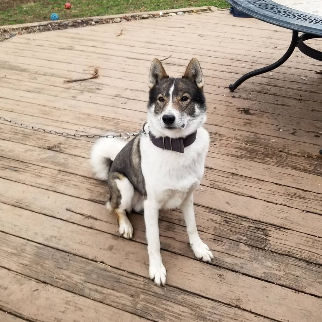 Якутская лайка: фото собаки, цена, описание породы, характер, видео   1080x1080
